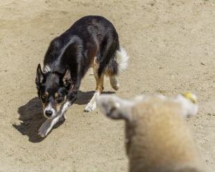 Working dog of Nancy's